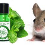4 Cách sử dụng Tinh dầu bạc hà đuổi chuột hiệu quả dễ thực hiện
