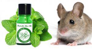 Cách sử dụng Tinh dầu bạc hà đuổi chuột hiệu quả dễ thực hiện